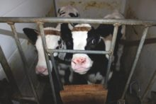Veal Crates